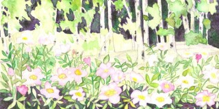 Wild Roses Aspen trees Colorado wildflower painting watercolor pink roses Fraser, Colorado original artwork Creekside Trail St Louis Creek